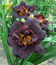 Taglilie 'Black Dancer'